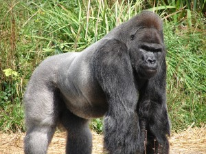 Jock,_the_Gorilla_(2)